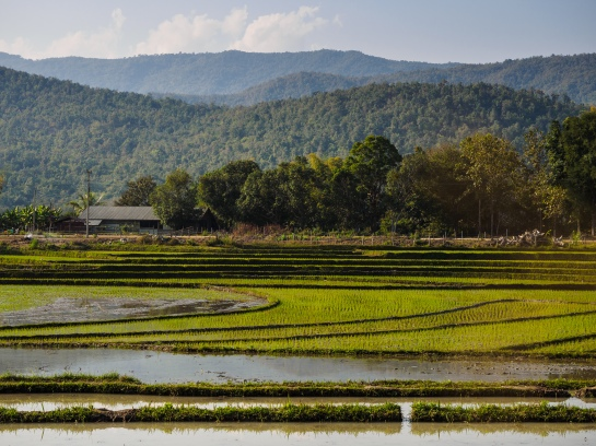 Lao rice fields